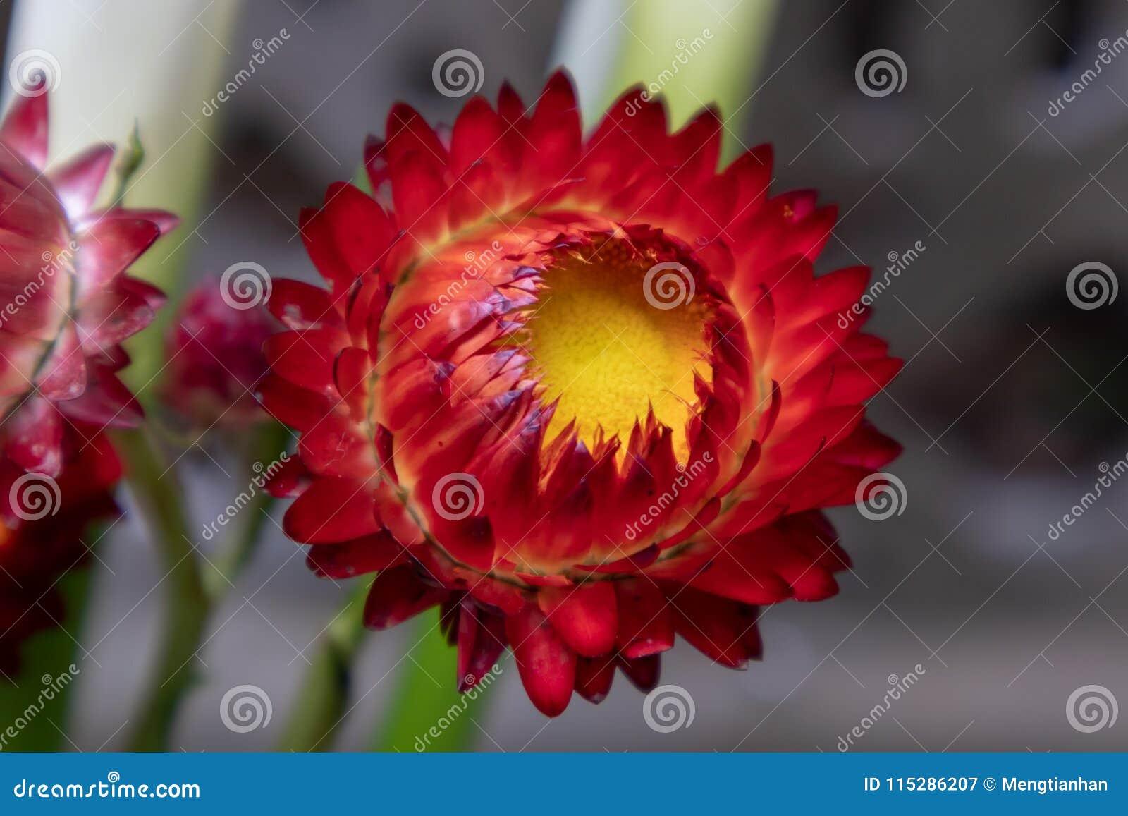Helichrysum Bracteatum Fresh Cut Flowers Stock Image Image Of
