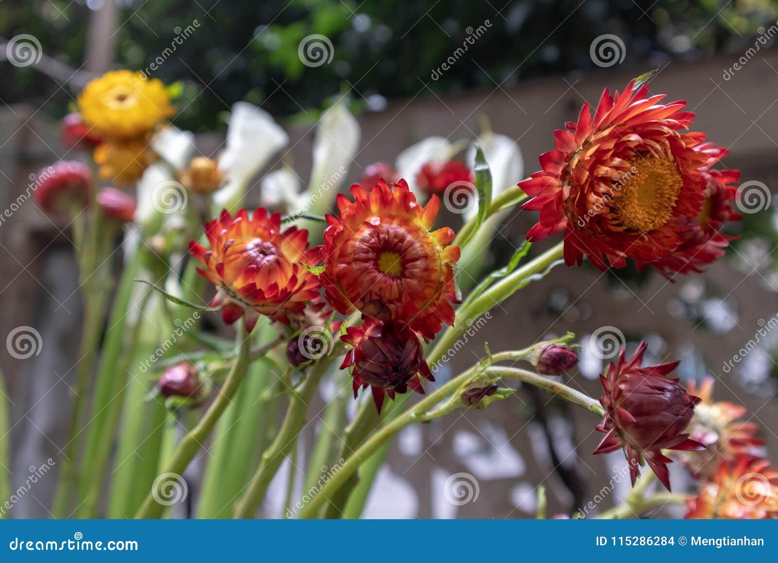 Helichrysum Bracteatum Fresh Cut Flowers Stock Photo Image Of