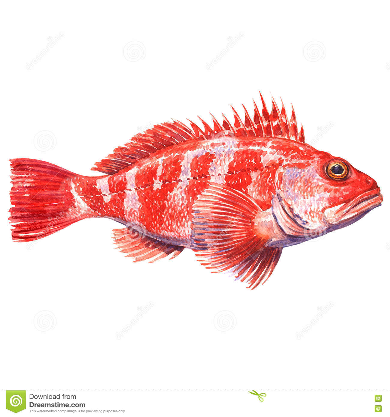 Rockfish Stock Illustrations – 128 Rockfish Stock Illustrations ...