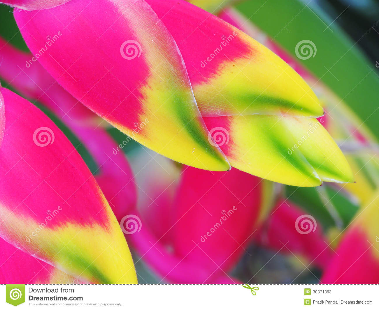 heliconia bird of paradise flower stock photos  image, Natural flower