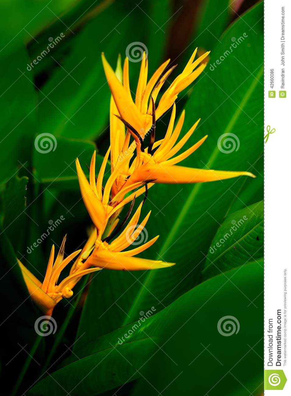 Heliconia stock photo image 42660086 - Flowers native to greece a sea of color ...