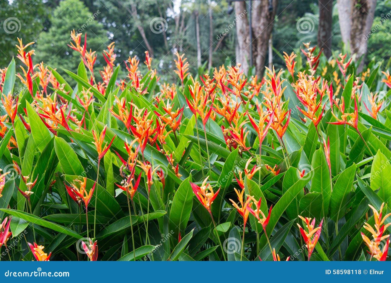 Heliconia La Planta Preferida En Jardines Tropicales Y: Heliconia Flowers In The Garden Stock Photo
