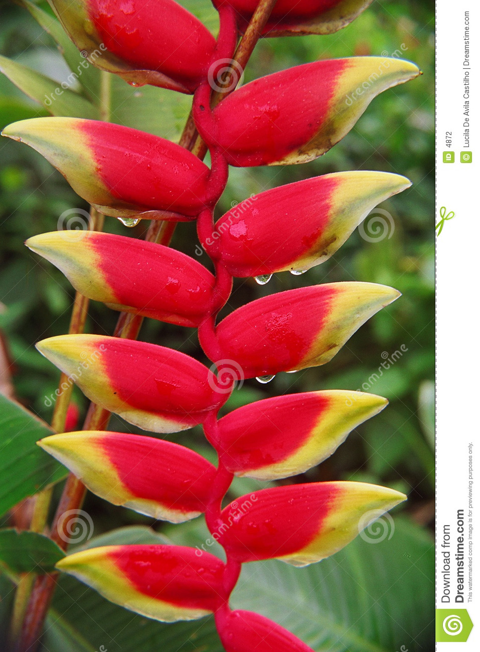 Heliconia with Rain Drops