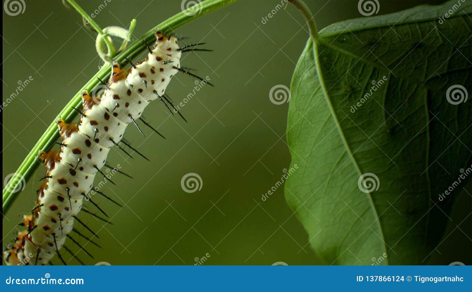 Heliconid蝴蝶毛虫吃激情花叶子
