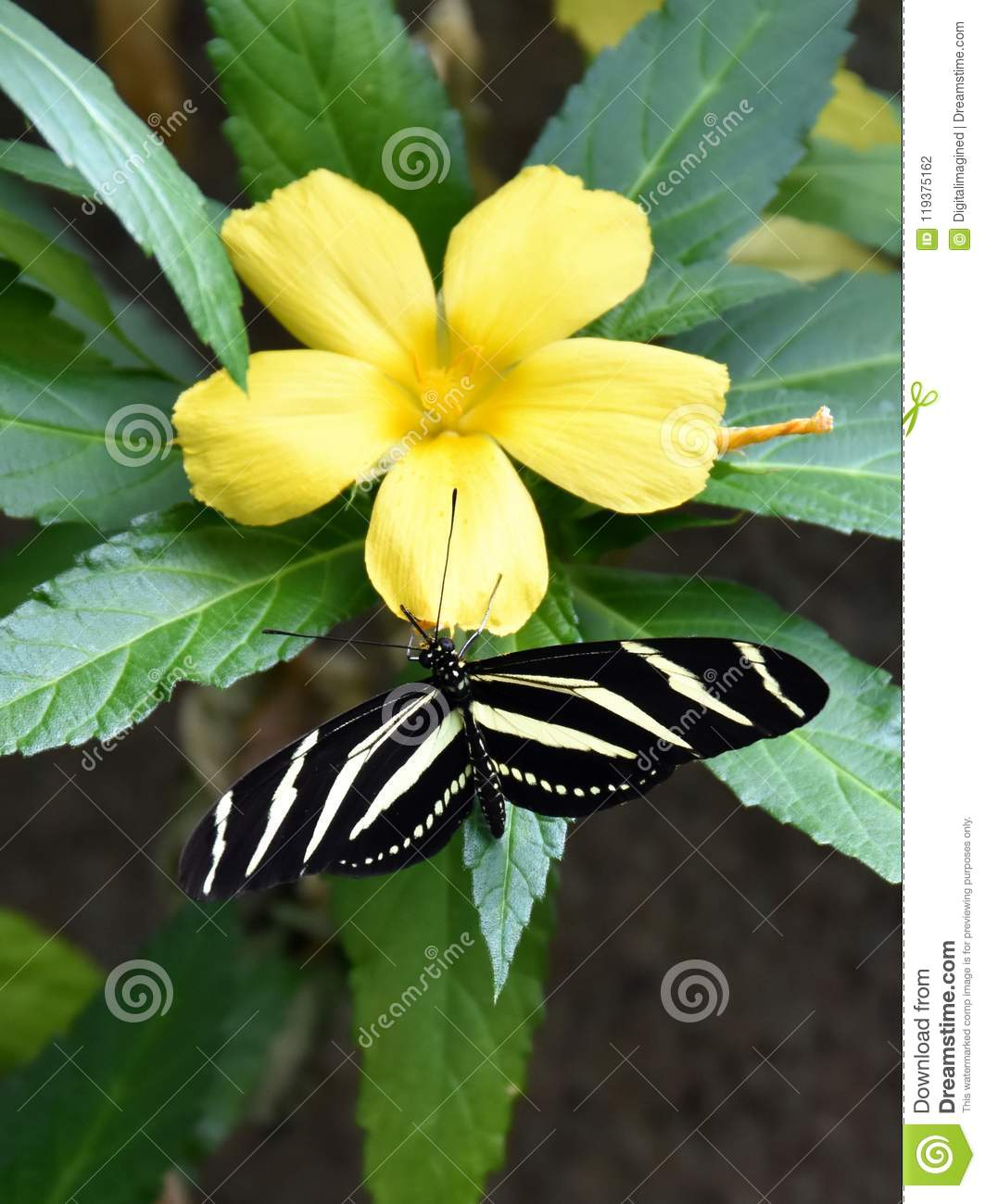 Heliconius Charithonia Black And White Striped Butterfly Stock Photo