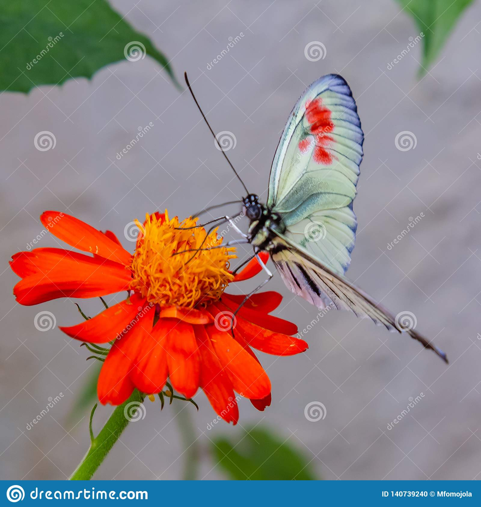 Heliconius longwing butterfly on yellow flower with red petals