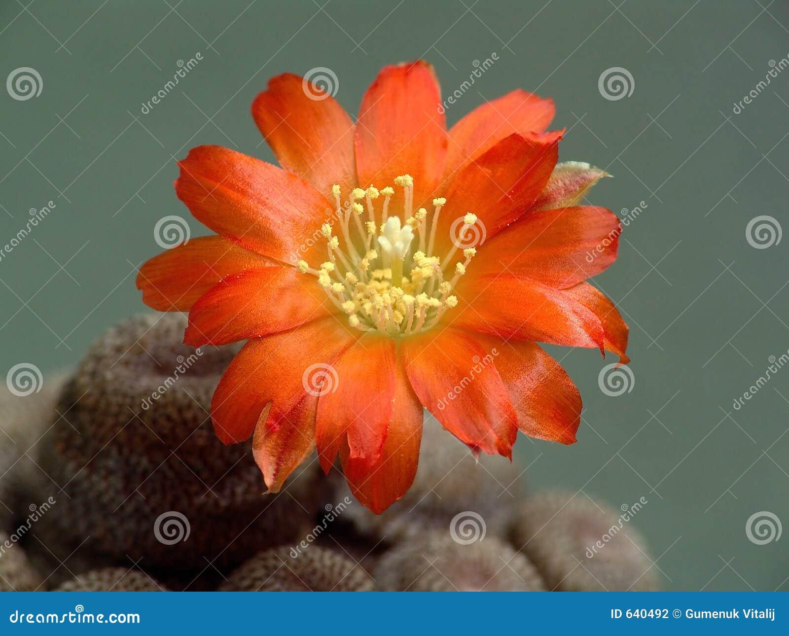 Download Heliosa кактуса Aylostera Blossoming Стоковое Фото - изображение насчитывающей померанцово, цветки: 640492