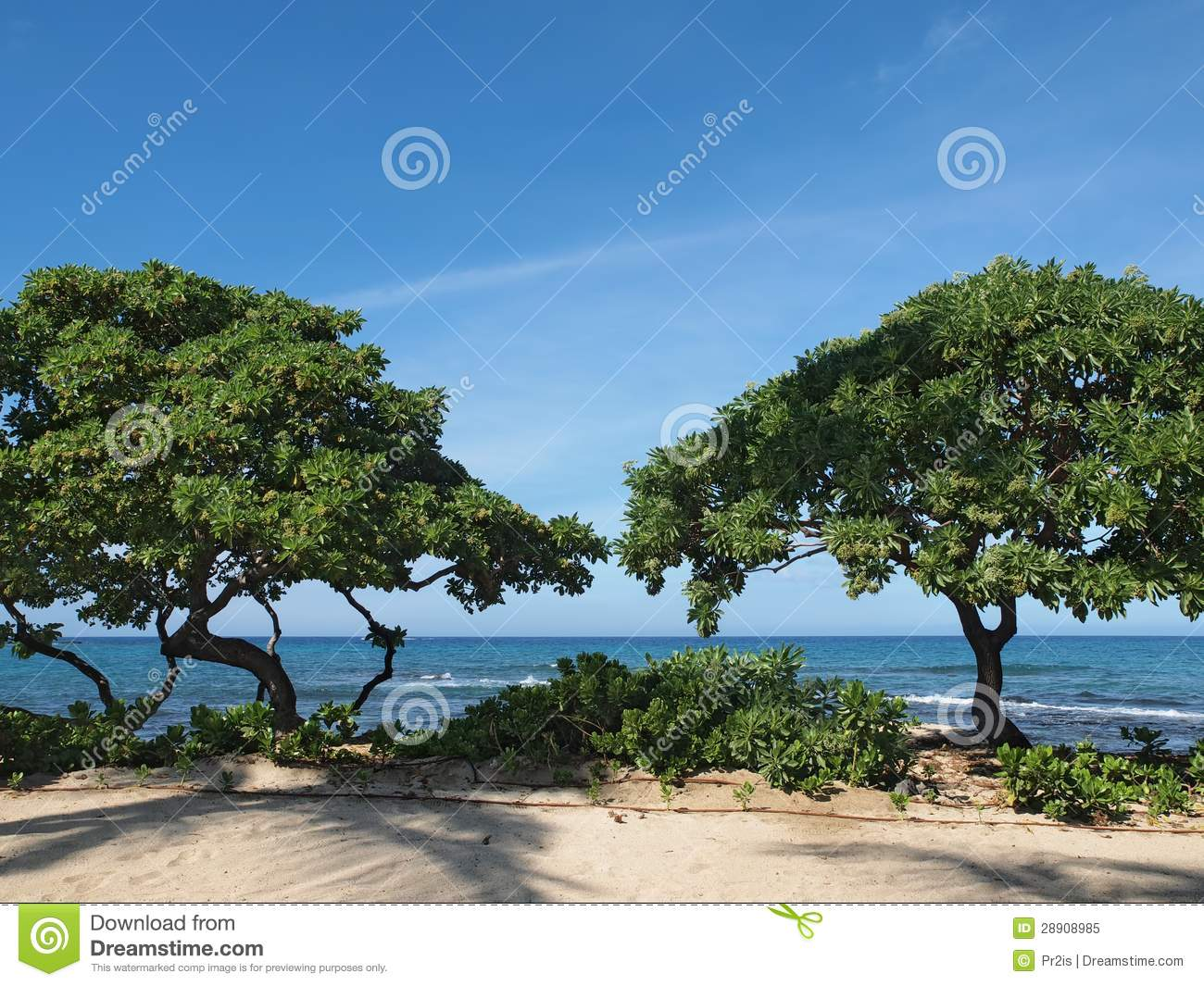 Heliotrope Trees Tournefortia Argentea On The Hawaiian Beach Royalty Free Stock Photo Image