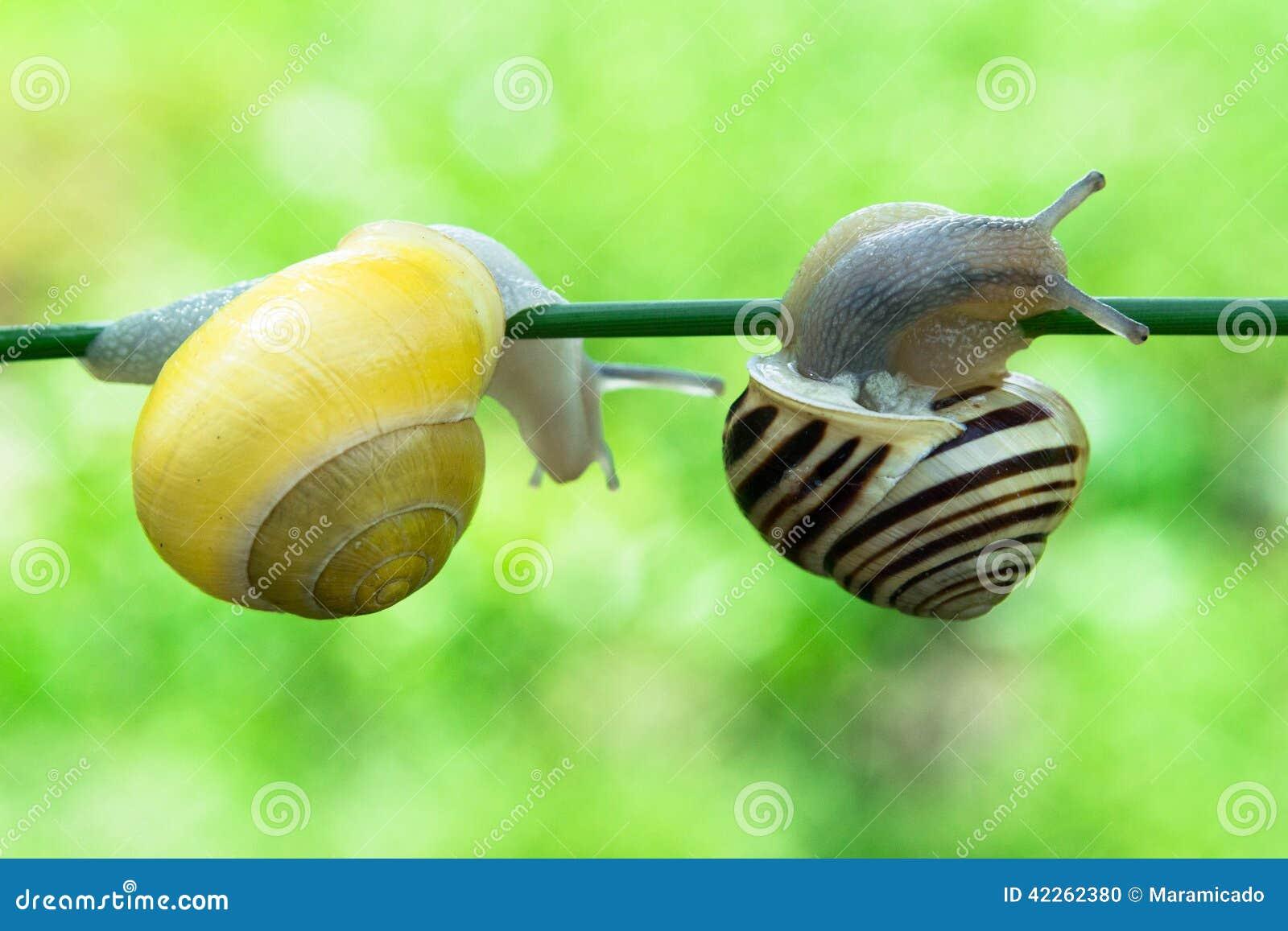 Helix pomatia delle lumache commestibili sopra uno stagno for Stagno giardino