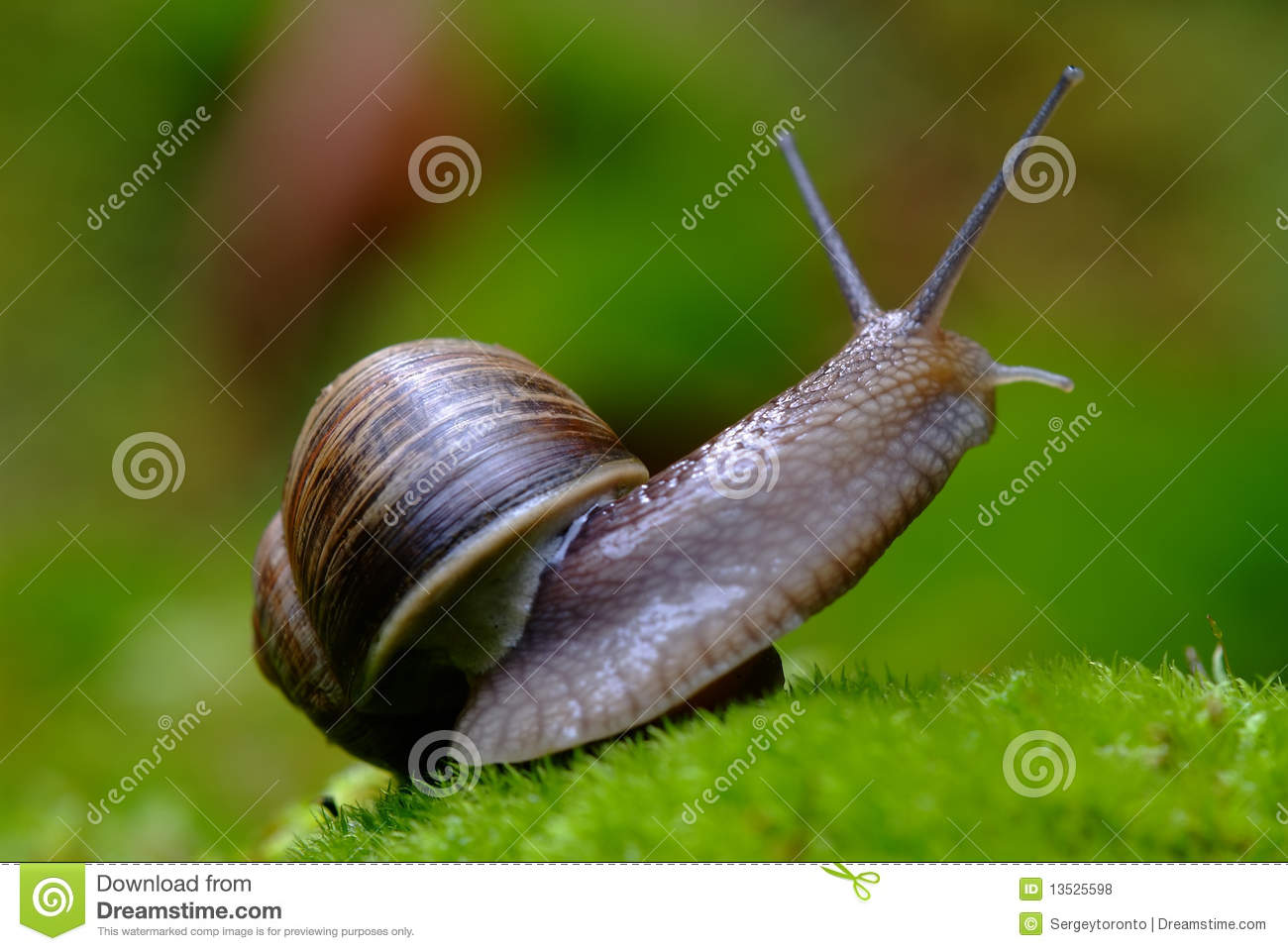 Download (Helix Pomatia) Edible Snail Macro Stock Photo - Image of french, macro: 13525598