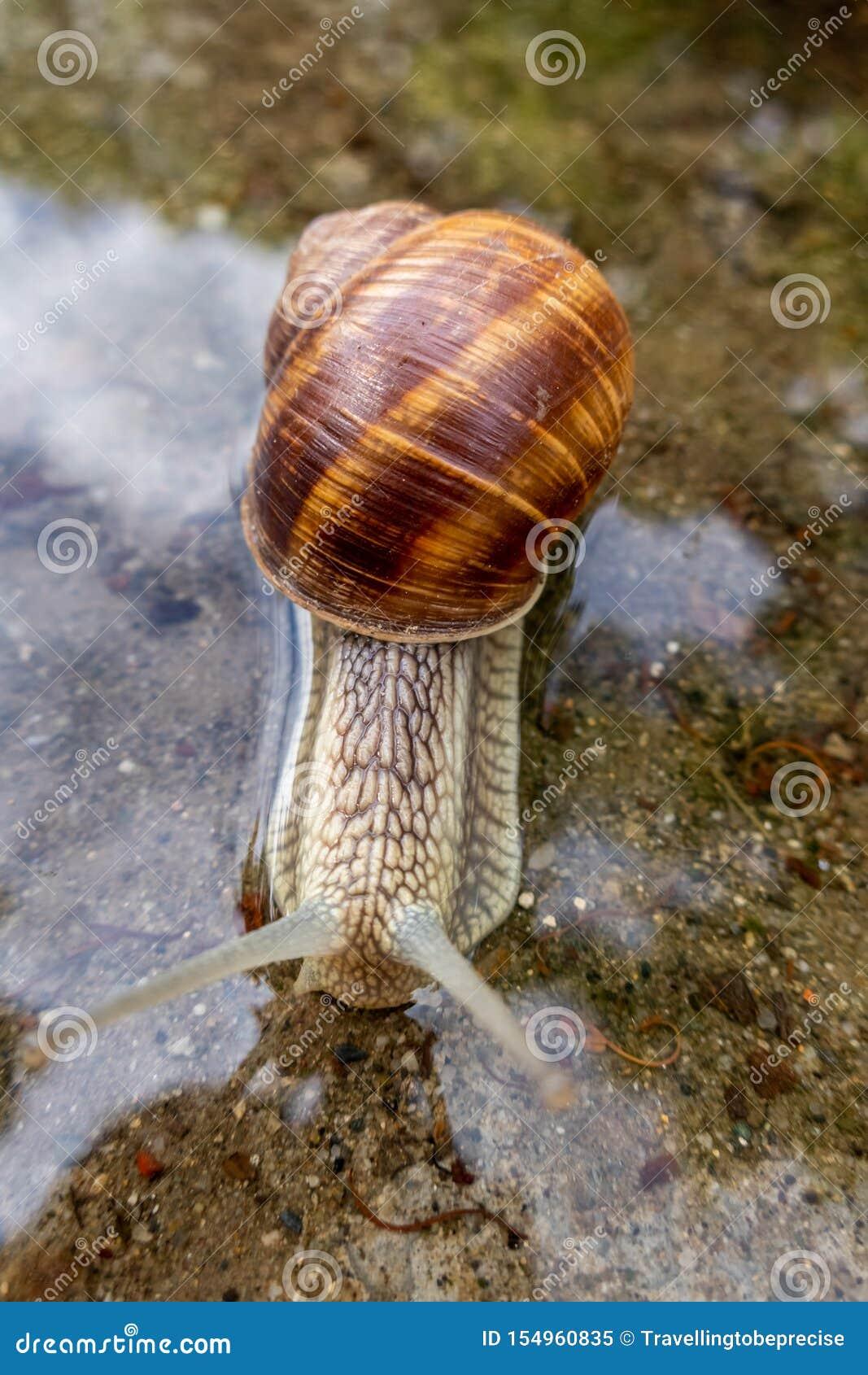 Helix pomatia, Roman snail, Burgundy snail, edible snail or escargot