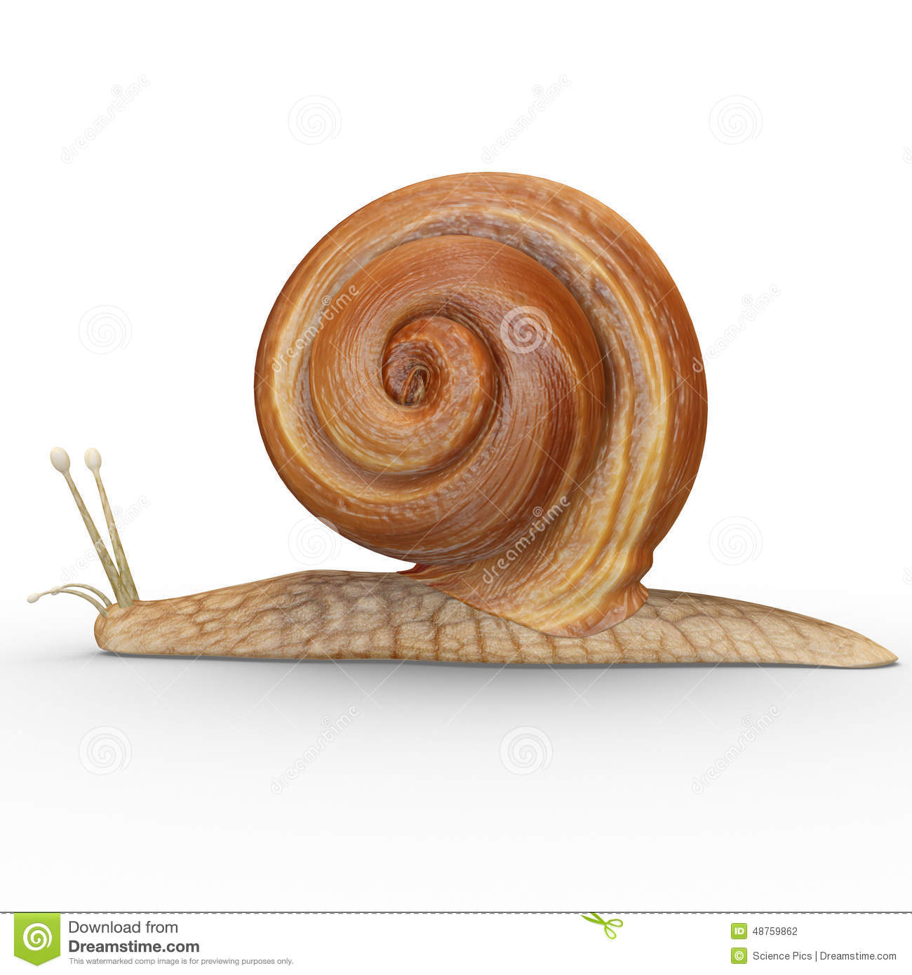 Helix Snail Anatomy Topsimages