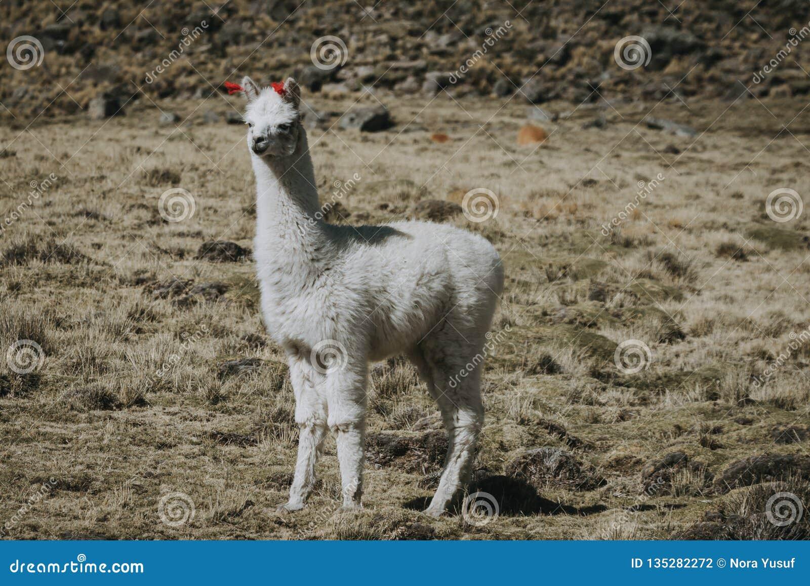 Hellång det fria för vit lama