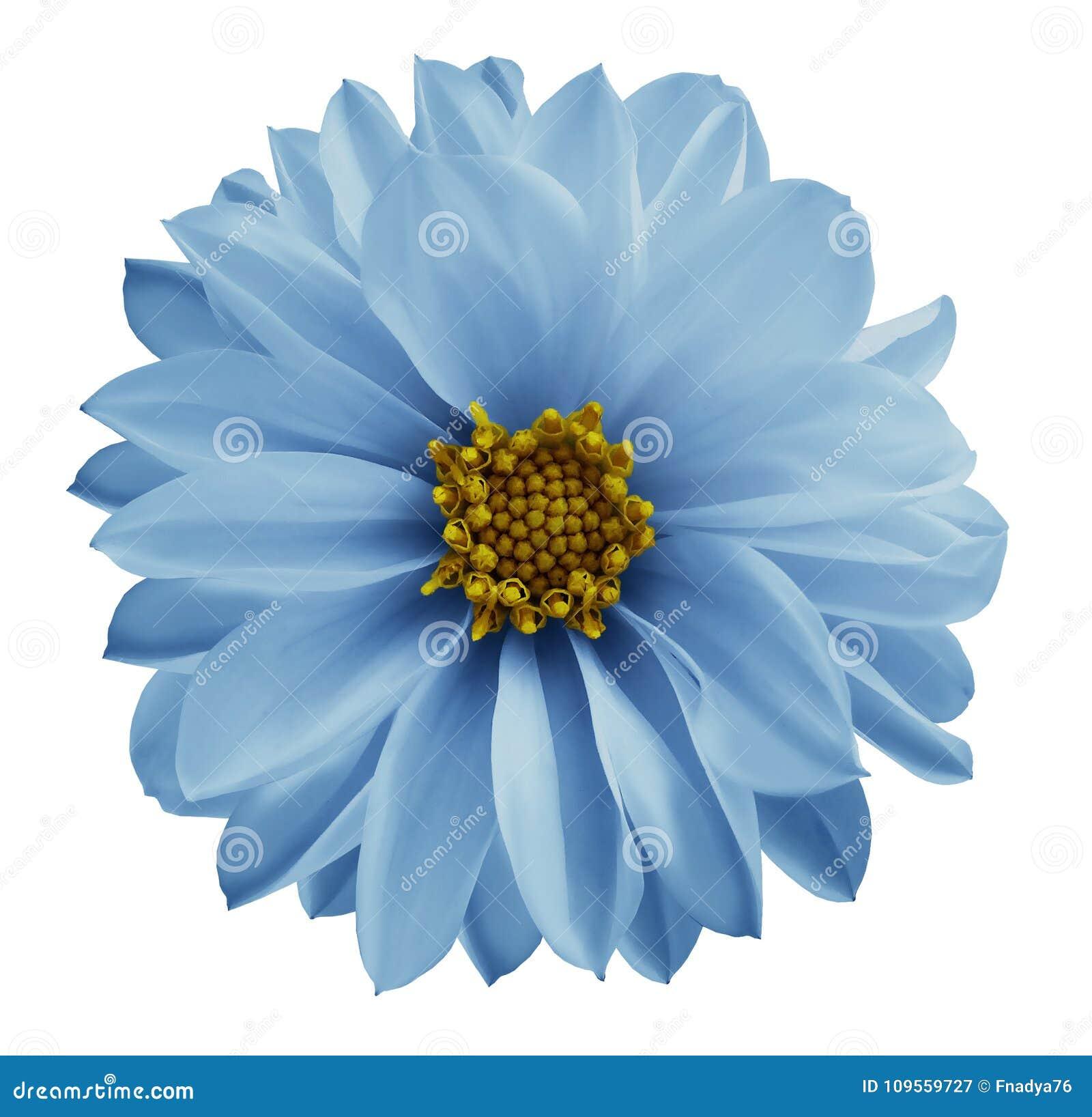Hellblaue Blume der Dahlie auf einem Weiß lokalisierte Hintergrund mit Beschneidungspfad Nahaufnahme keine Schatten Rose auf dem