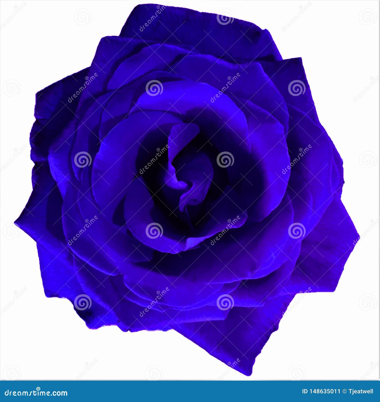Helle blaue gro?e Rose mit wei?em Hintergrund