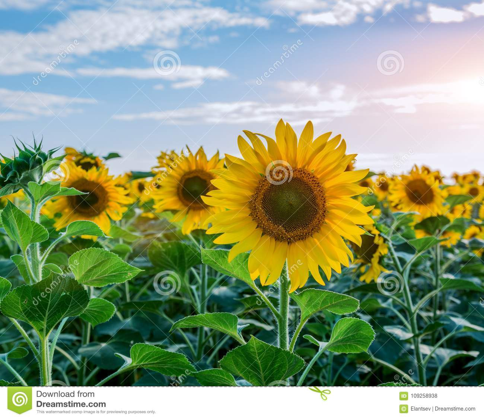 Helle gelbe, orange Sonnenblumenblume auf Sonnenblumenfeld