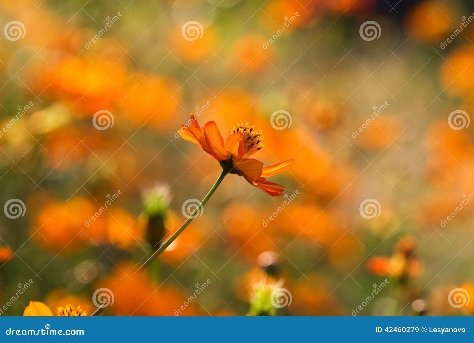 Helle orange Blume