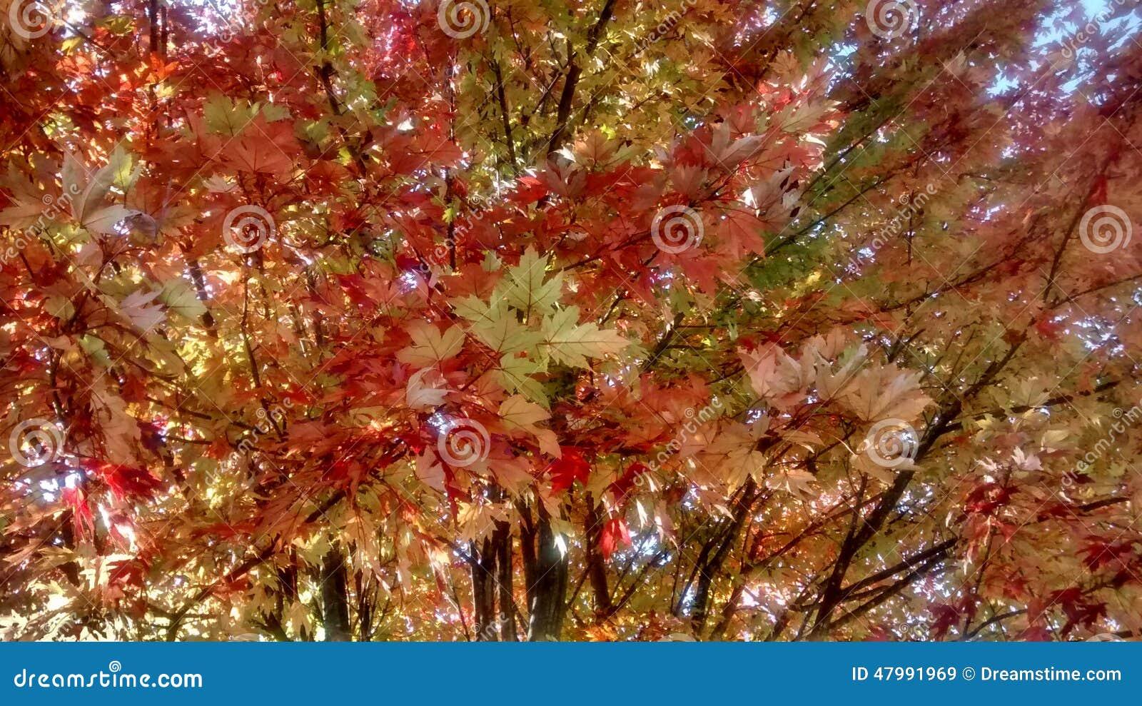Helle Rotblätter