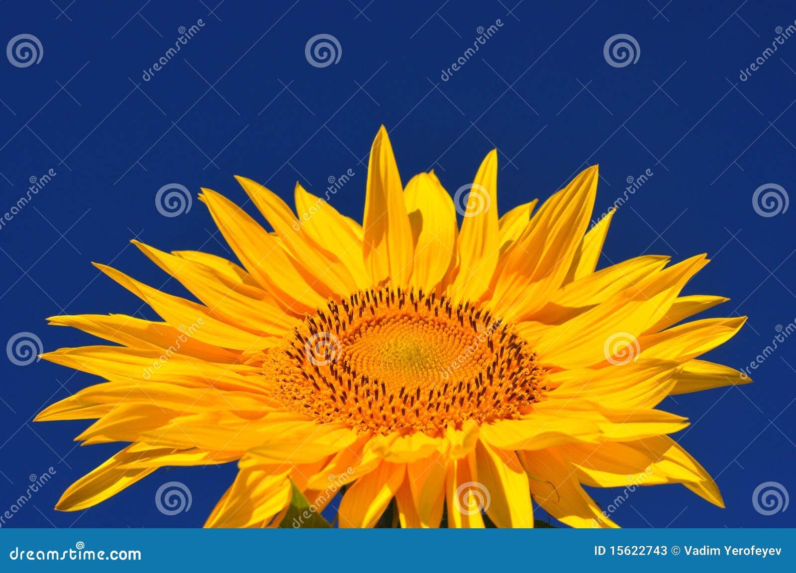 Ausgezeichnet Sonnenblumen Färbung Bilder Zeitgenössisch - Entry ...