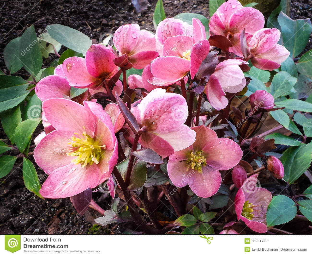 Hellebore Flowers In Bloom In Early Spring Stock Photo ...