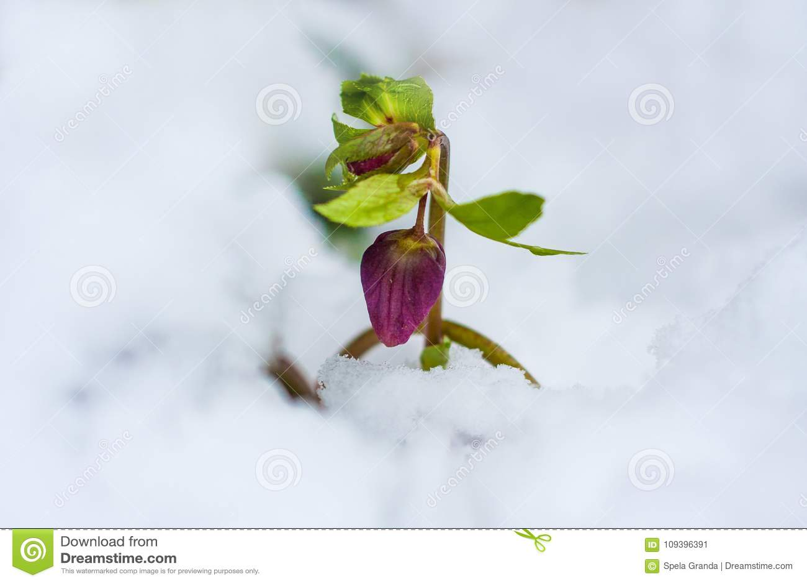 Hellebore Flowers Blooming In Winter Stock Image Image Of