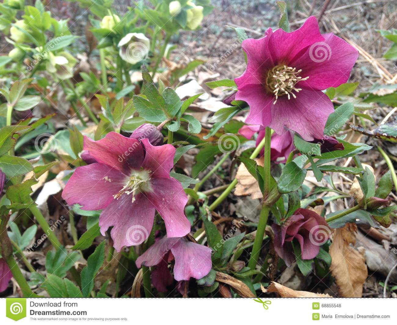 Hellebore Plant Blossoming In Spring At Central Park Stock Photo Image 68855548