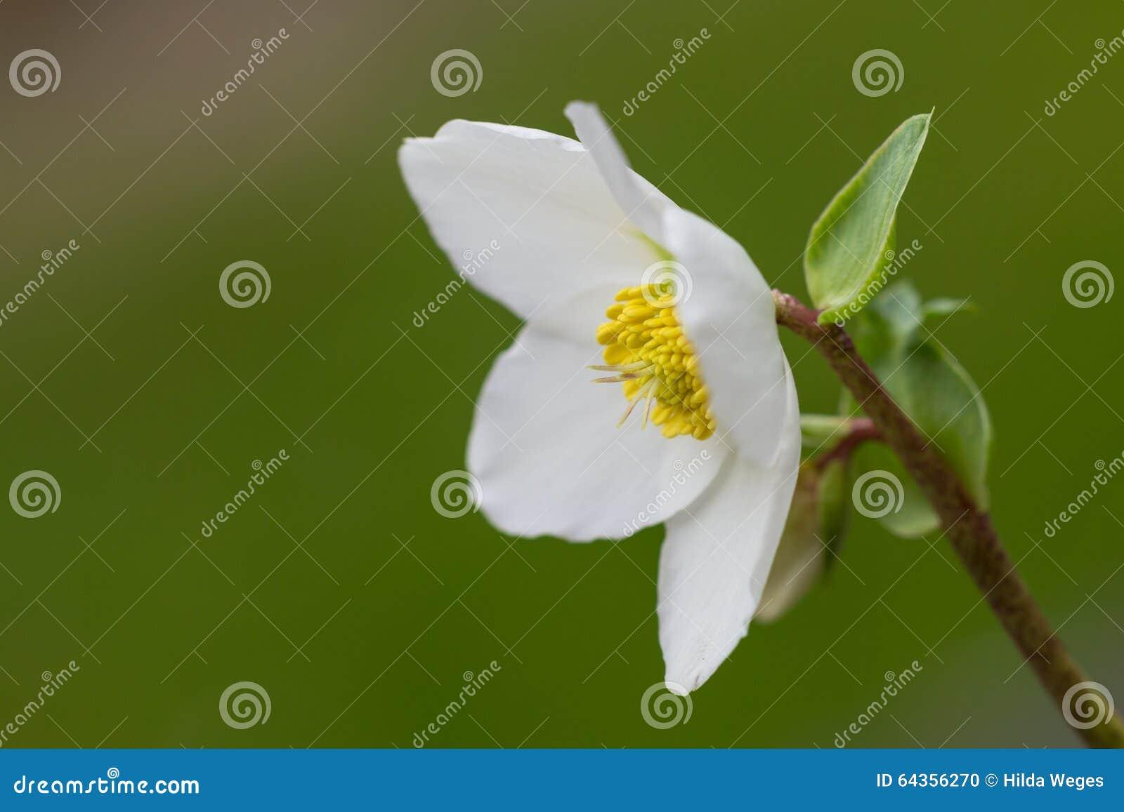 Hellebores Blühen (Helleborus Orientalis), Oder Weihnachten Stieg ...