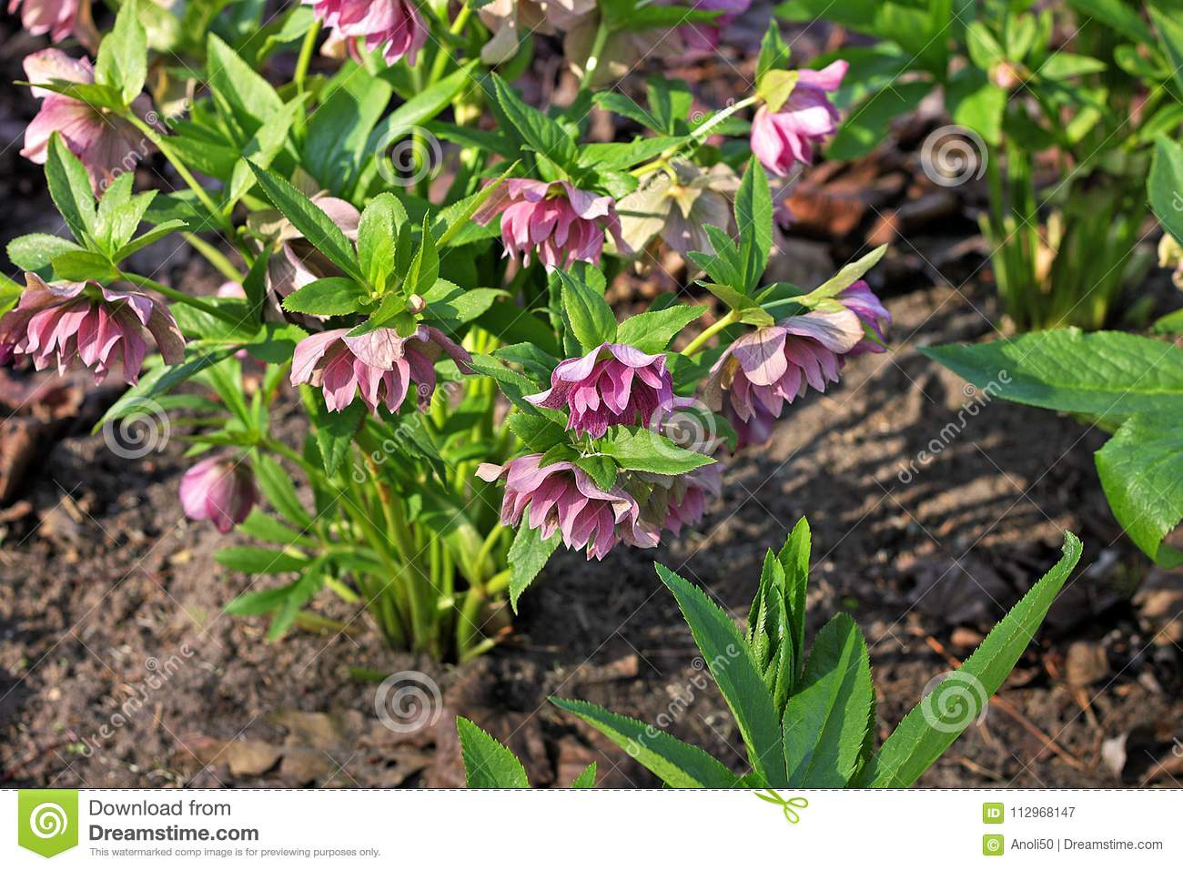 Hellebore flowers stock image image of flower spring 112968147 helleborus also called christmas rose and winter rose winter flowering herbaceous perennial grown for purple flowers mightylinksfo
