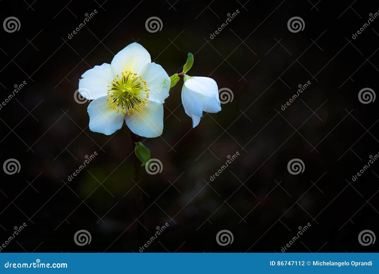 Helleborus Niger biały kwiat