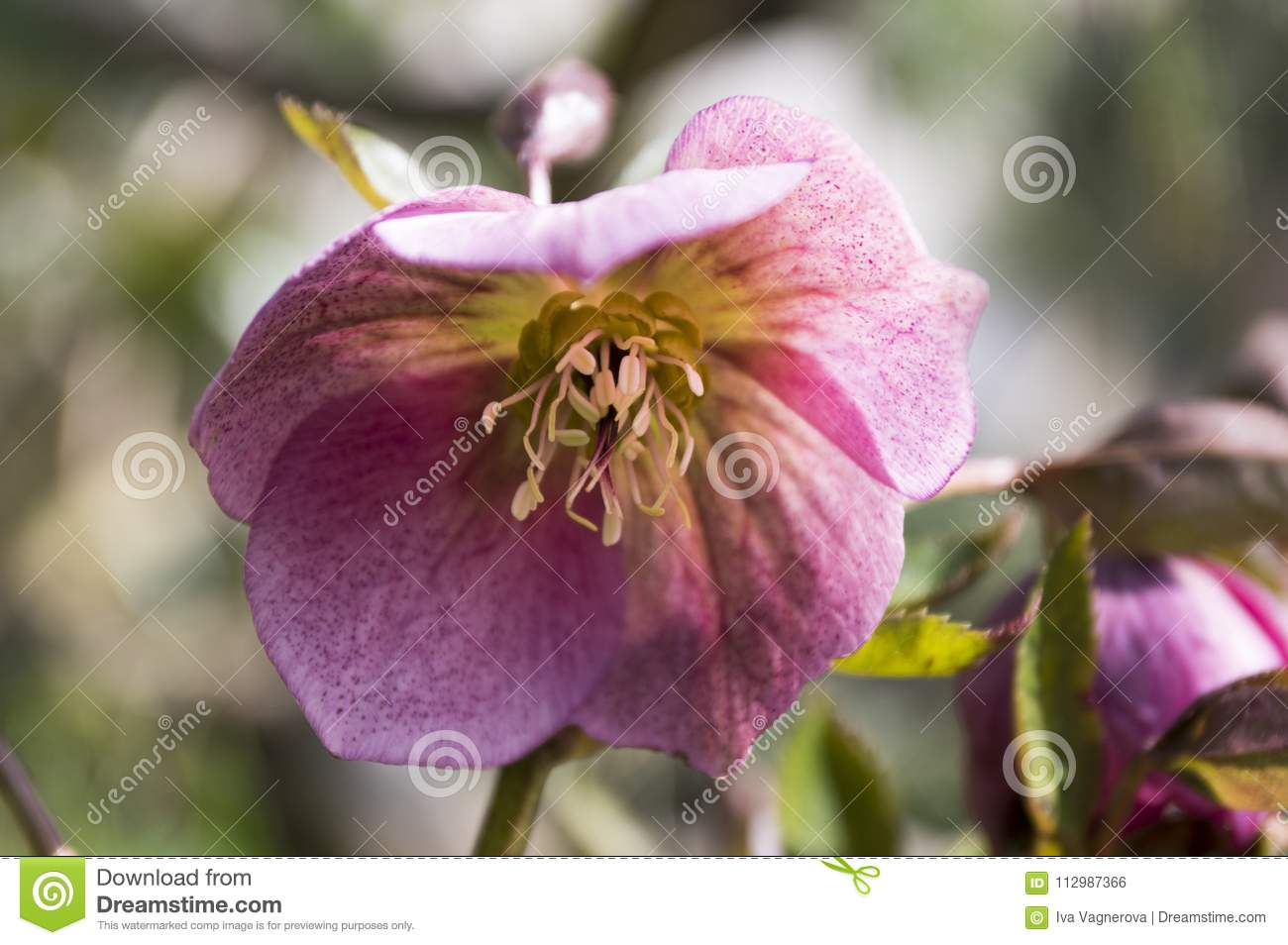 Helleborus niger ornamental early spring flower in bloom in sunlight