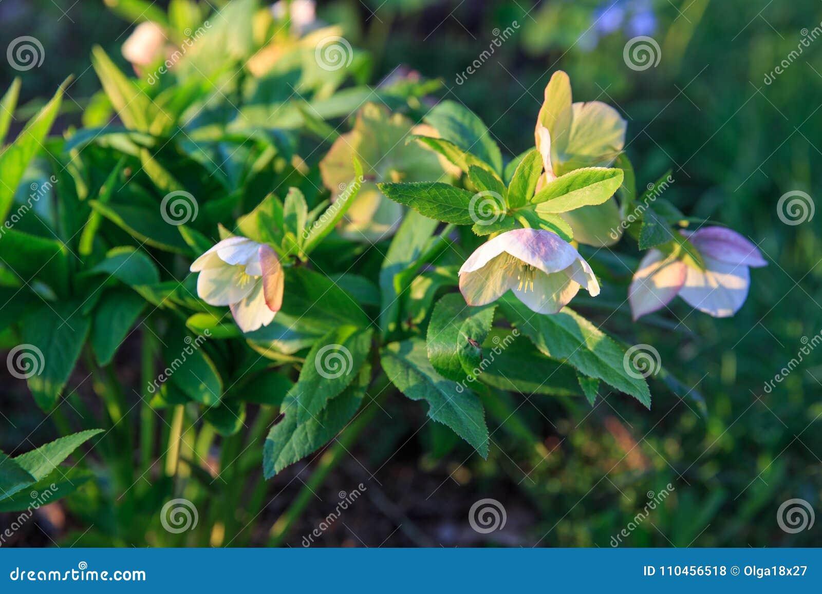 Helleborushybridus för vit hellebore med purpurfärgade fläckar i en trädgård