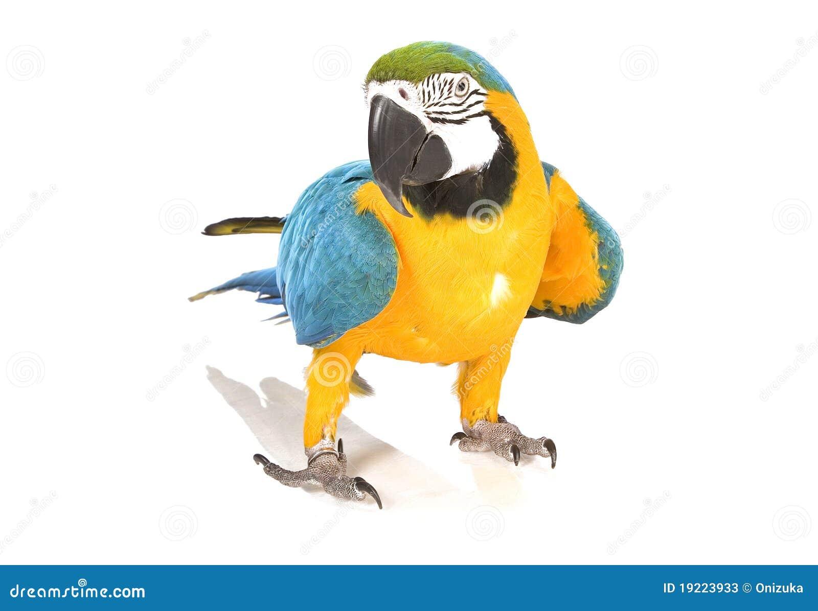 Heller Arapapagei