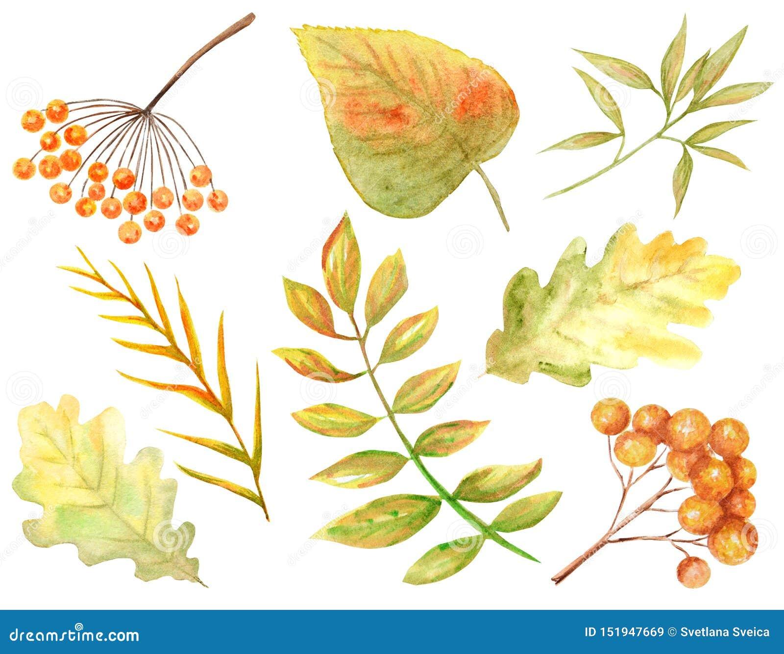 Heller Farbsatz des Aquarellherbstlaubs Wilde Trauben, Ulme, Linde, Eiche, Eberesche, Birne lokalisiert auf weißem Hintergrund