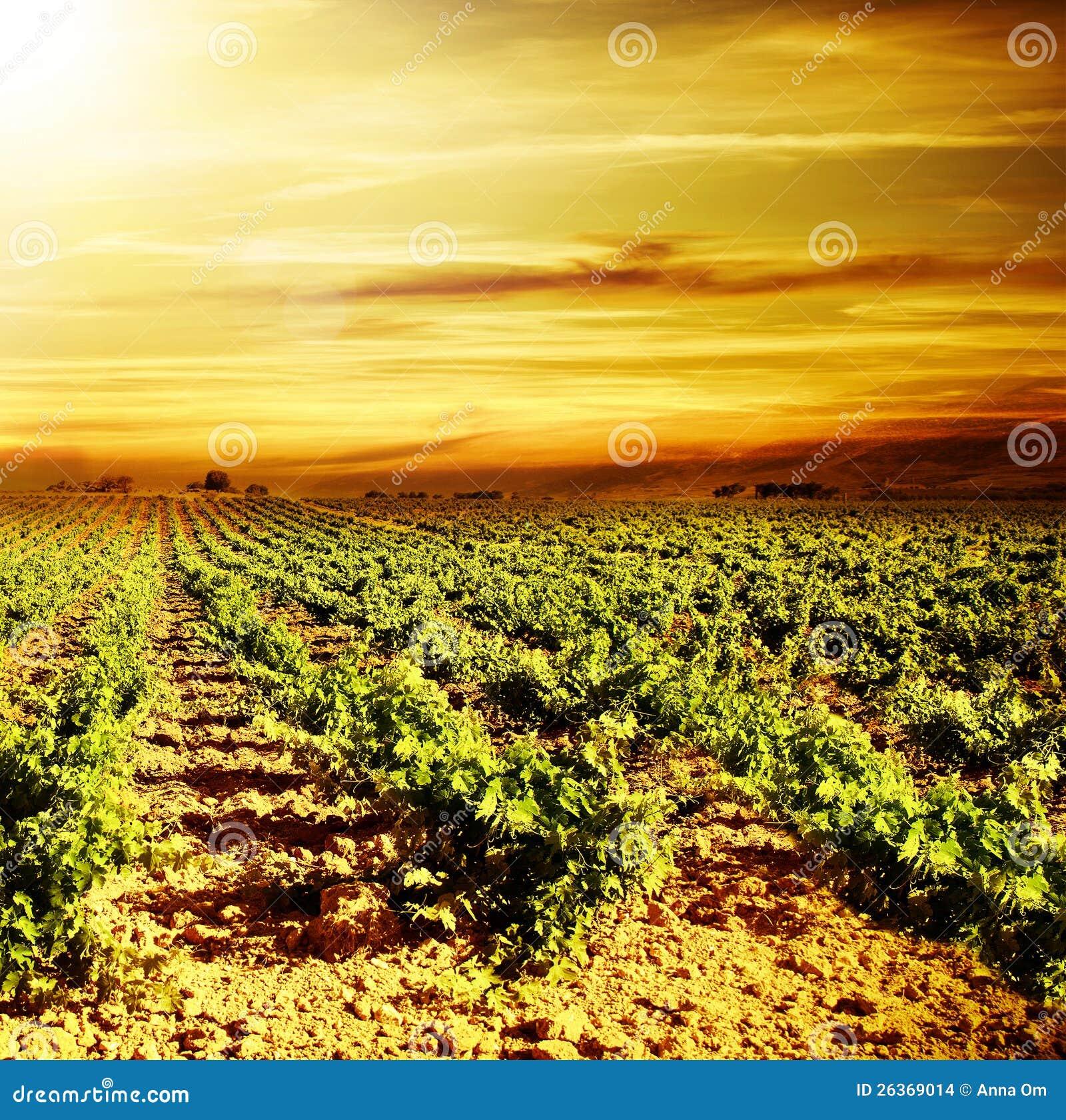 Heller Sonnenuntergang am Weinberg