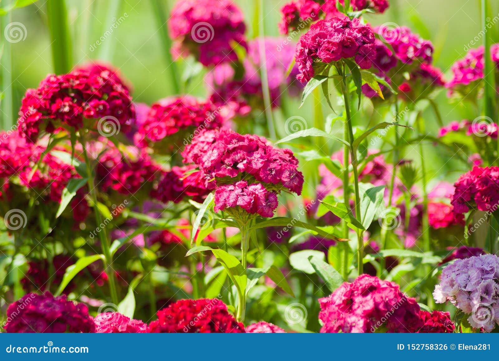 Helles rosa türkisches Gartennelken Dianthus barbatus