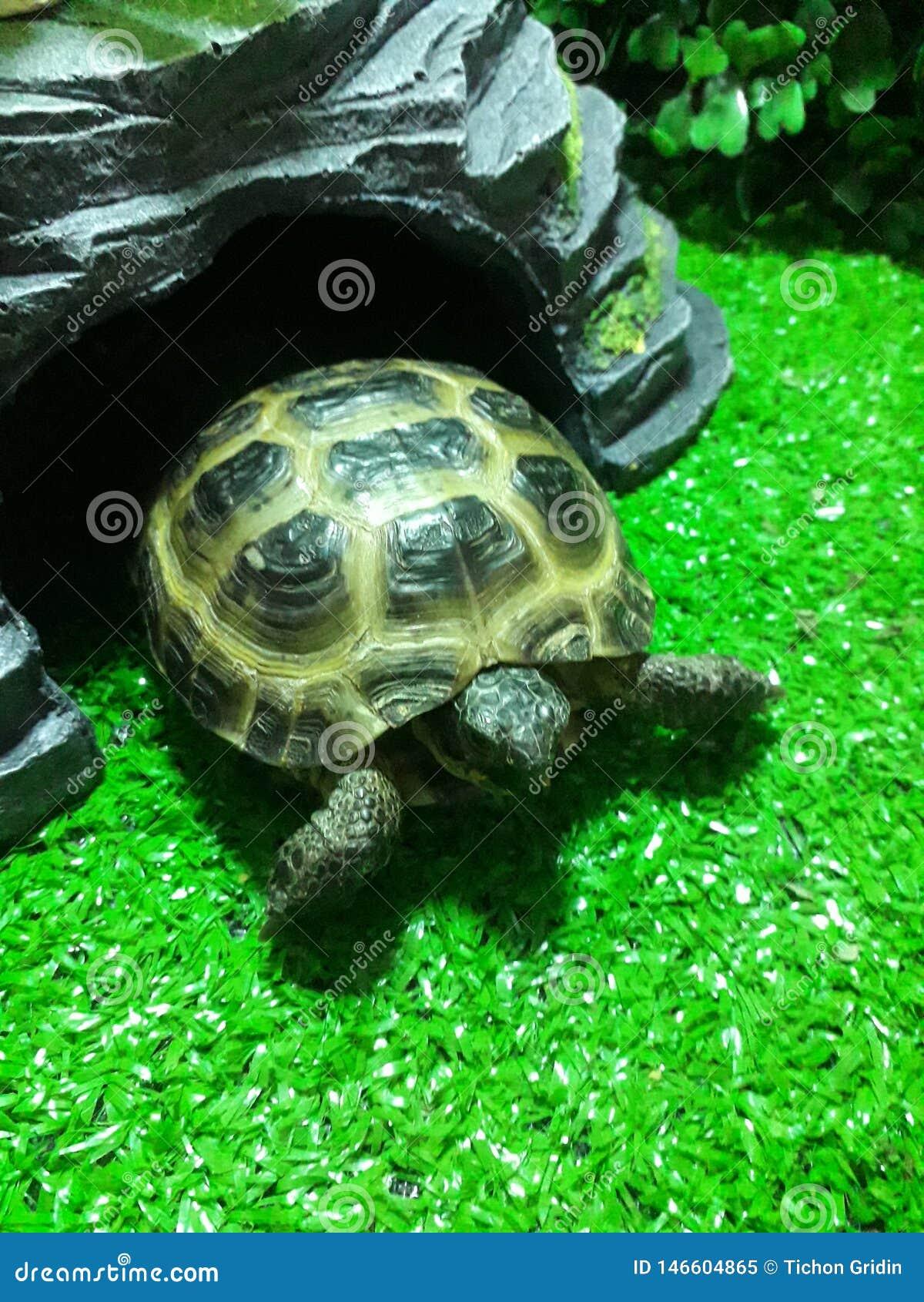 Hellgrüne Schildkröte von Zentralasien steht in einem Terrarium