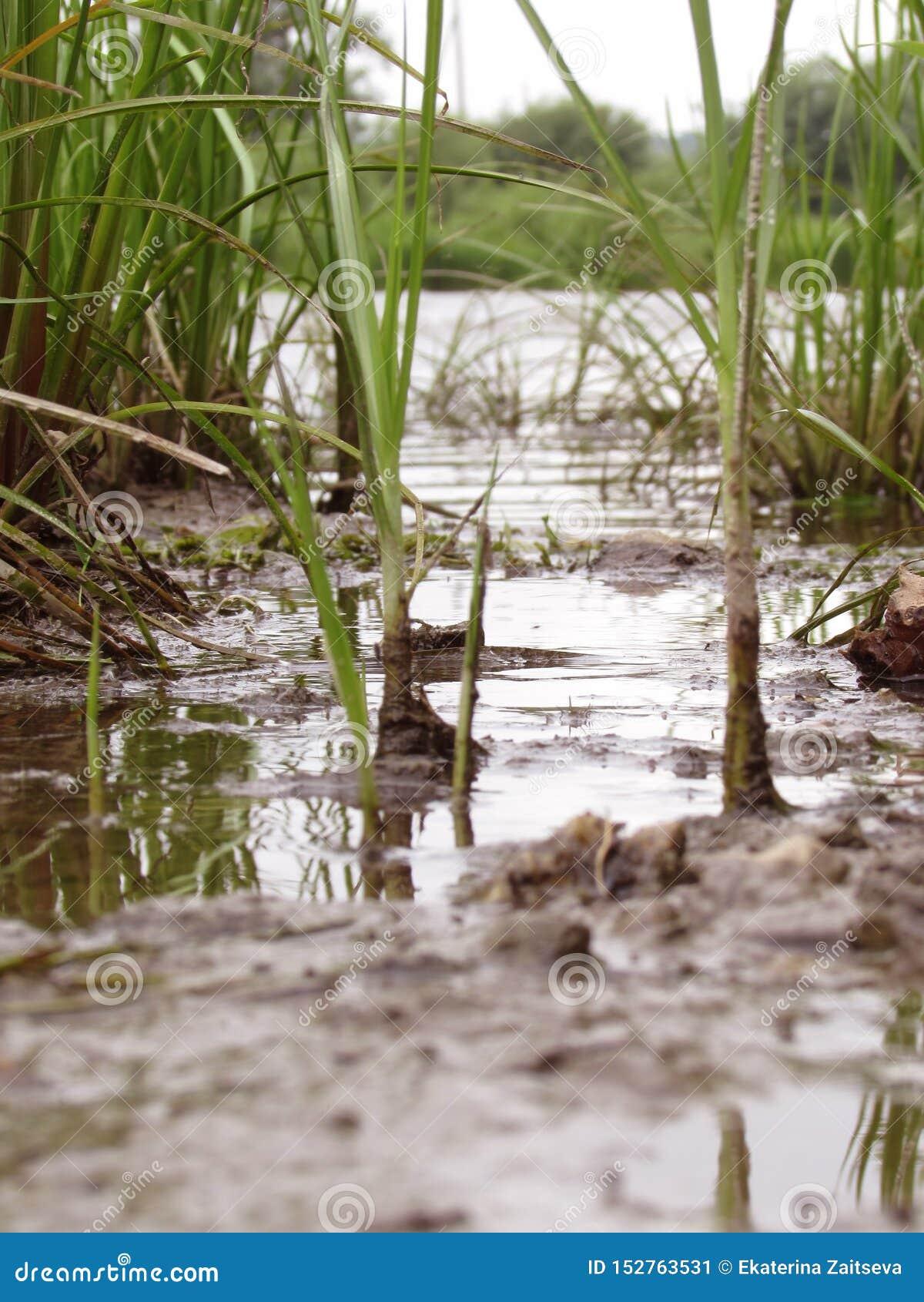 Hellgrünes saftiges Flussgras mit schmutzigen schwarzen Wurzeln auf der Bank des Flusses des Sees wächst