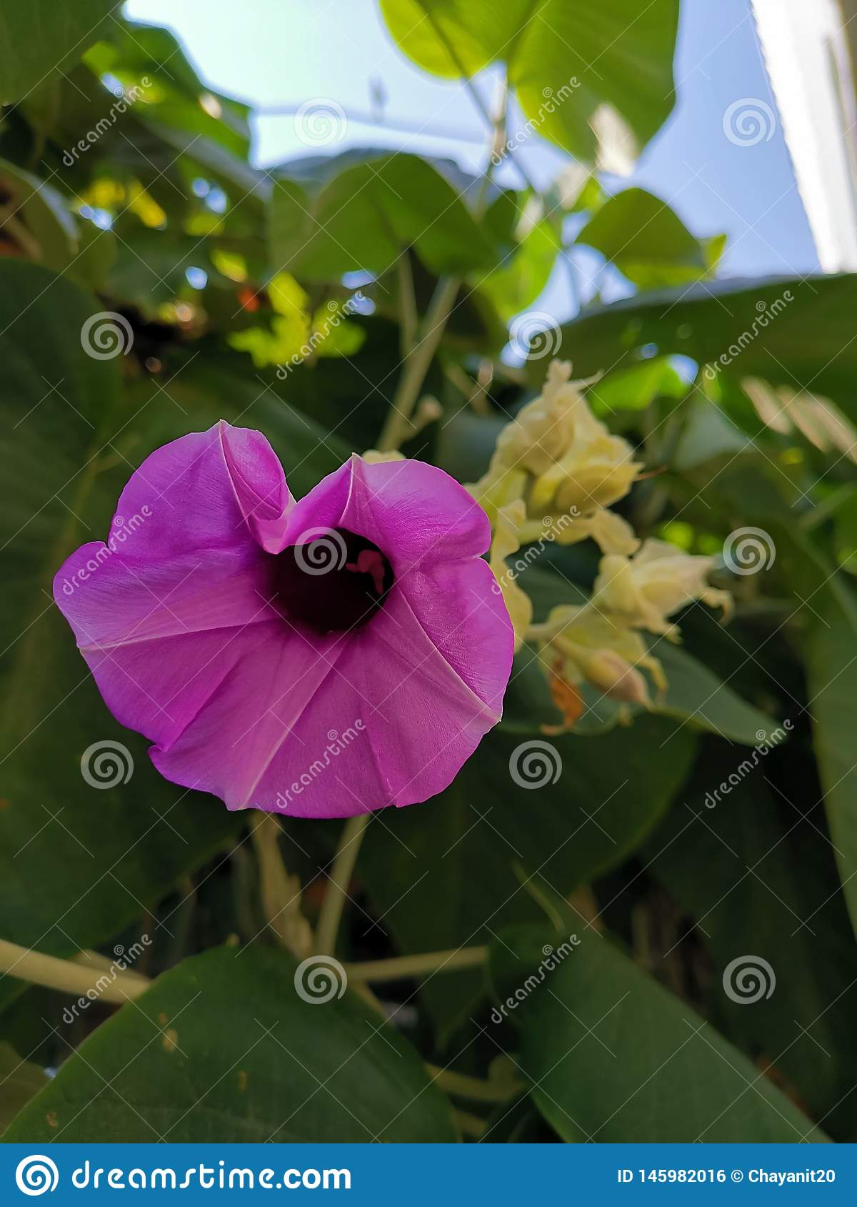 Hello Saturday with this lovely purple Elephant creeper flower