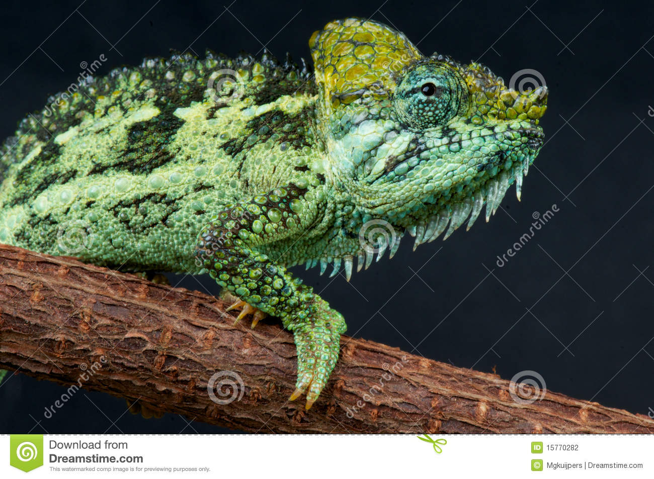 helmeted chameleon stock photography image 15770282
