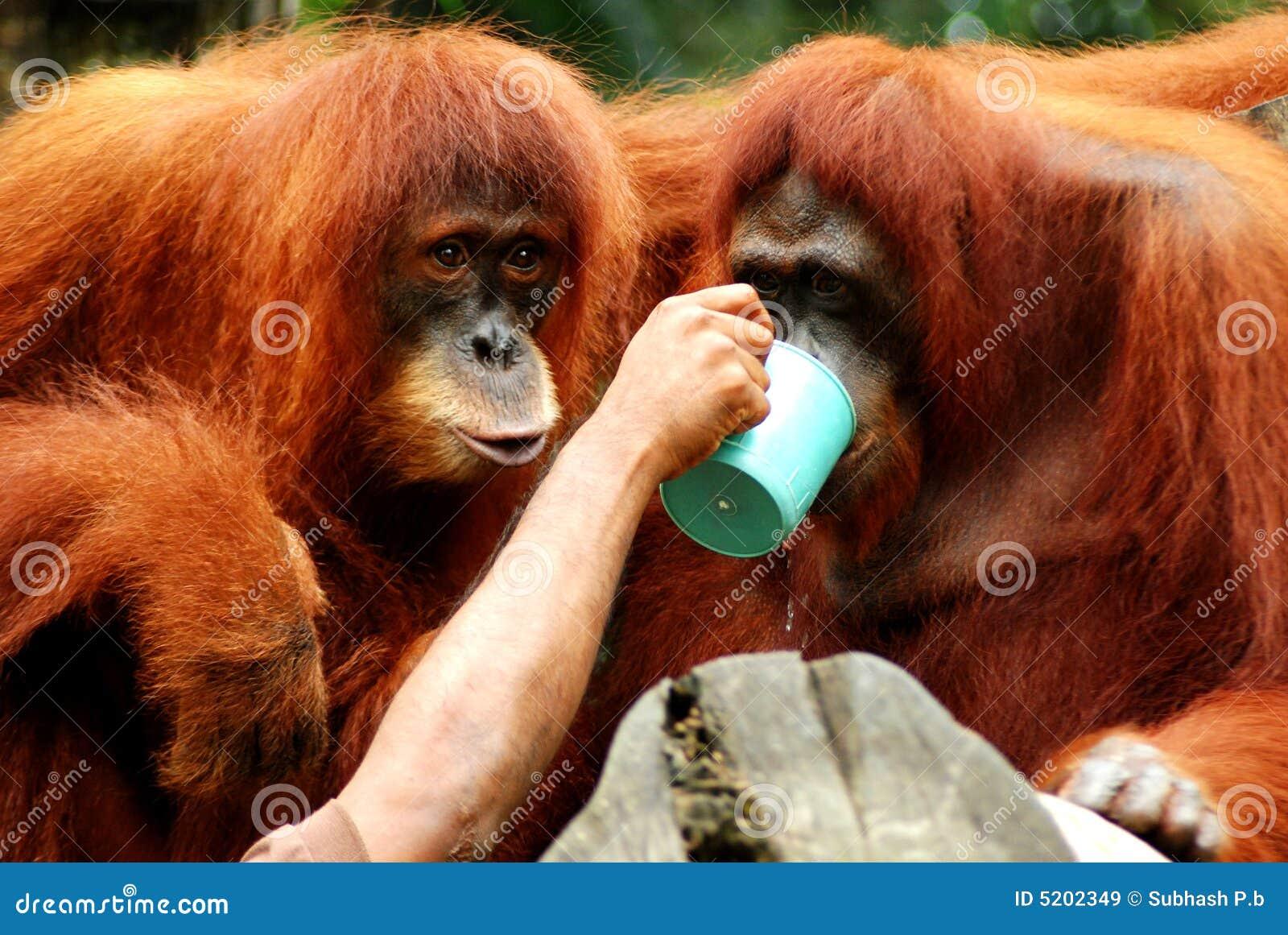 Helpend hand - orang-oetan utans