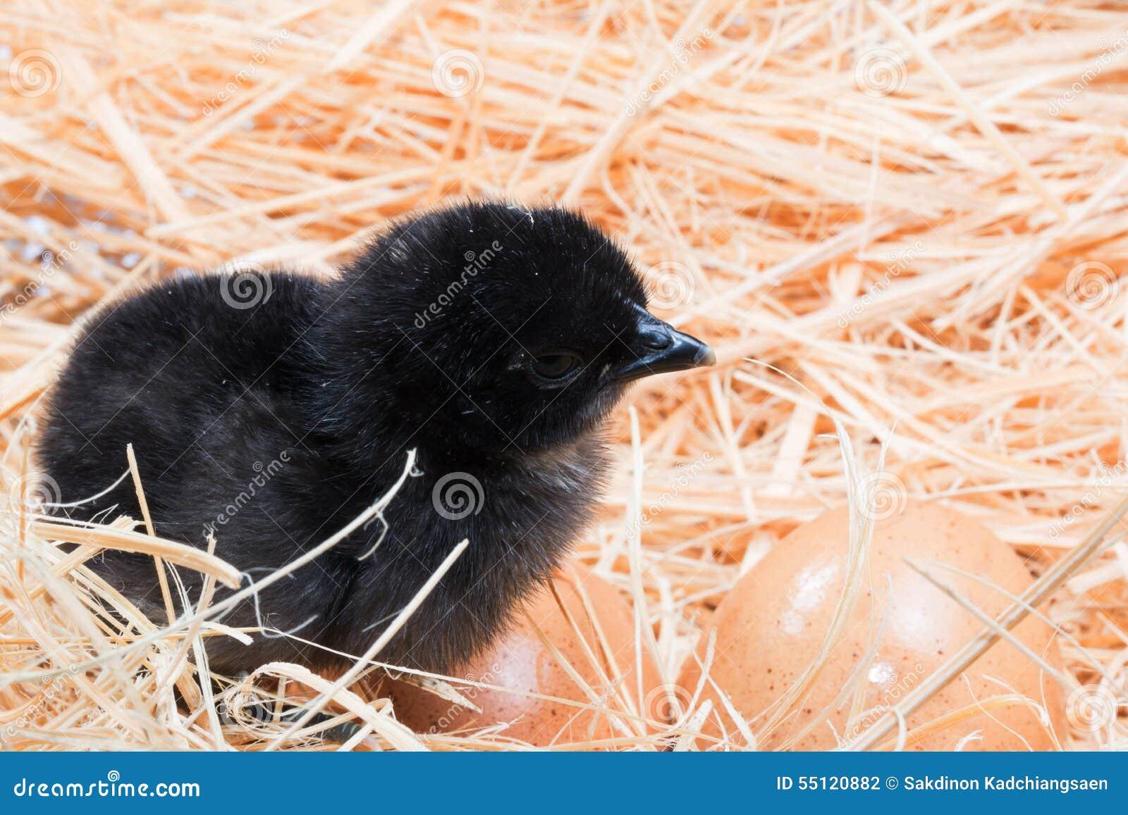 Helpless Chicks