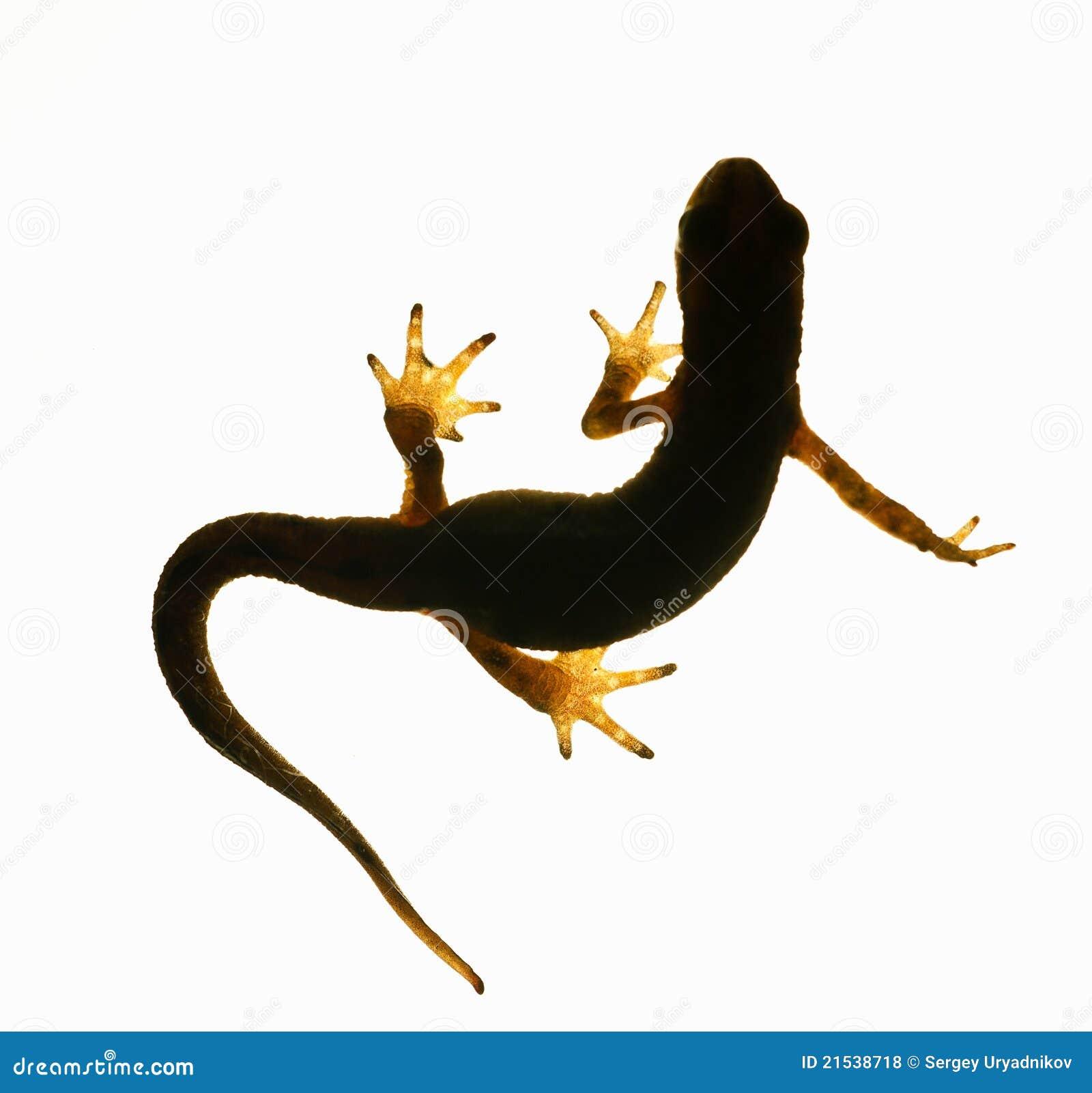 背景黑暗的helveticus查出轻的lissotriton蝾螈掌状剪影triturus白色.图片