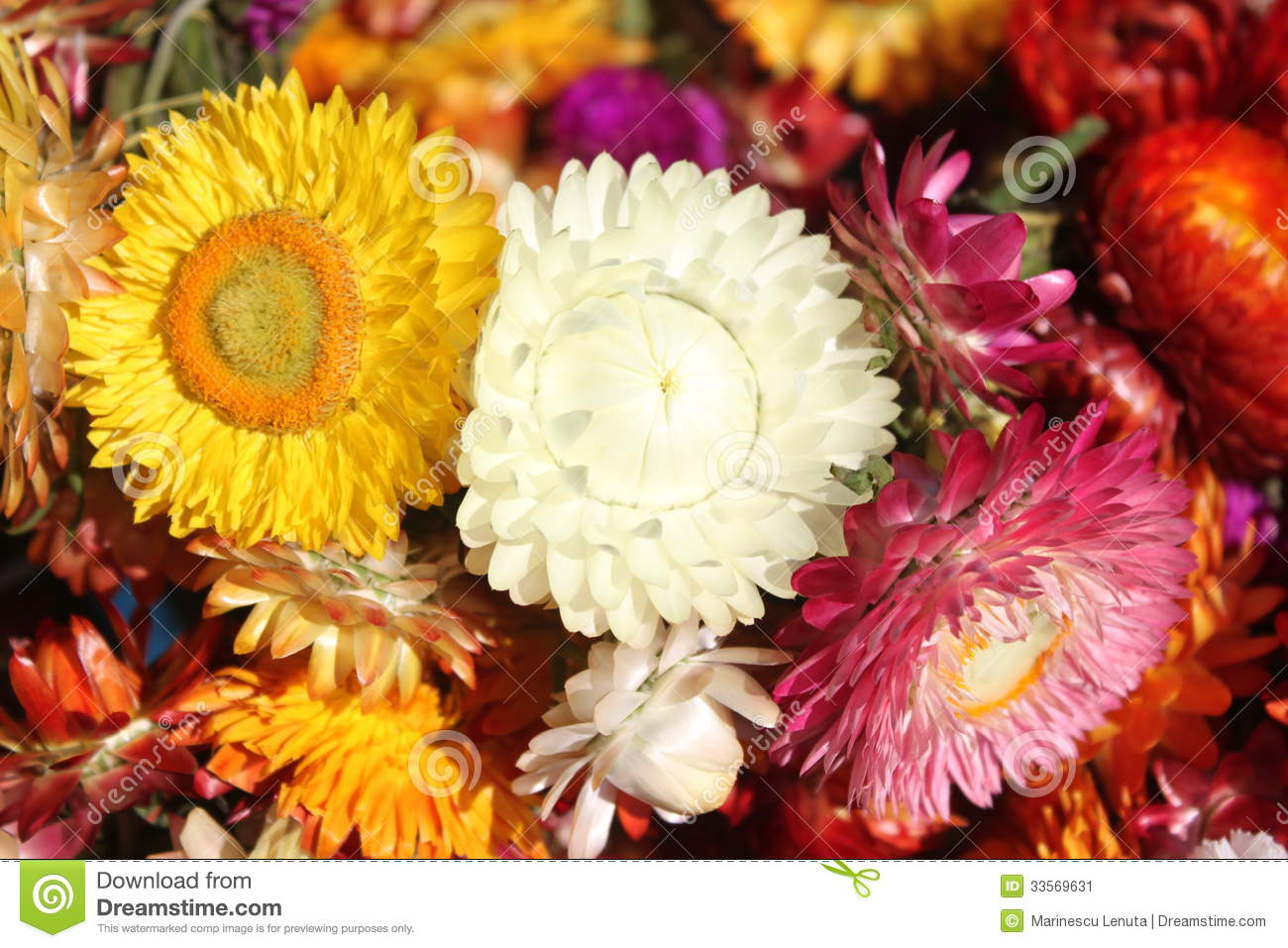 Helychrysum immortelle flowers stock image image 33569631 for What makes flowers different colors