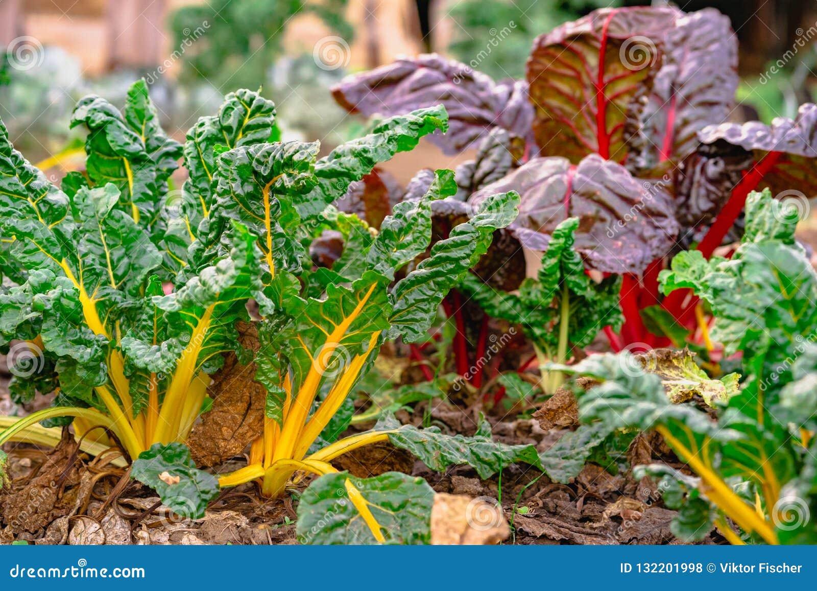Hem för beta för schweizisk Chard vulgaris - som är fullvuxet och som är organiskt på en odlingslott i en grönsakträdgård i lantl