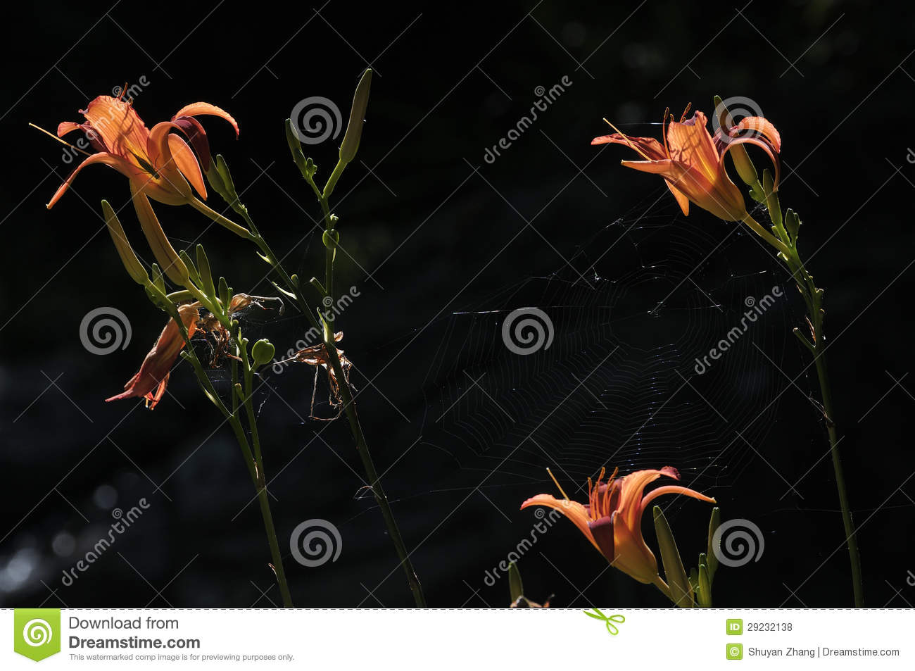 Download Hemerocallis bonito foto de stock. Imagem de aranha, bonito - 29232138