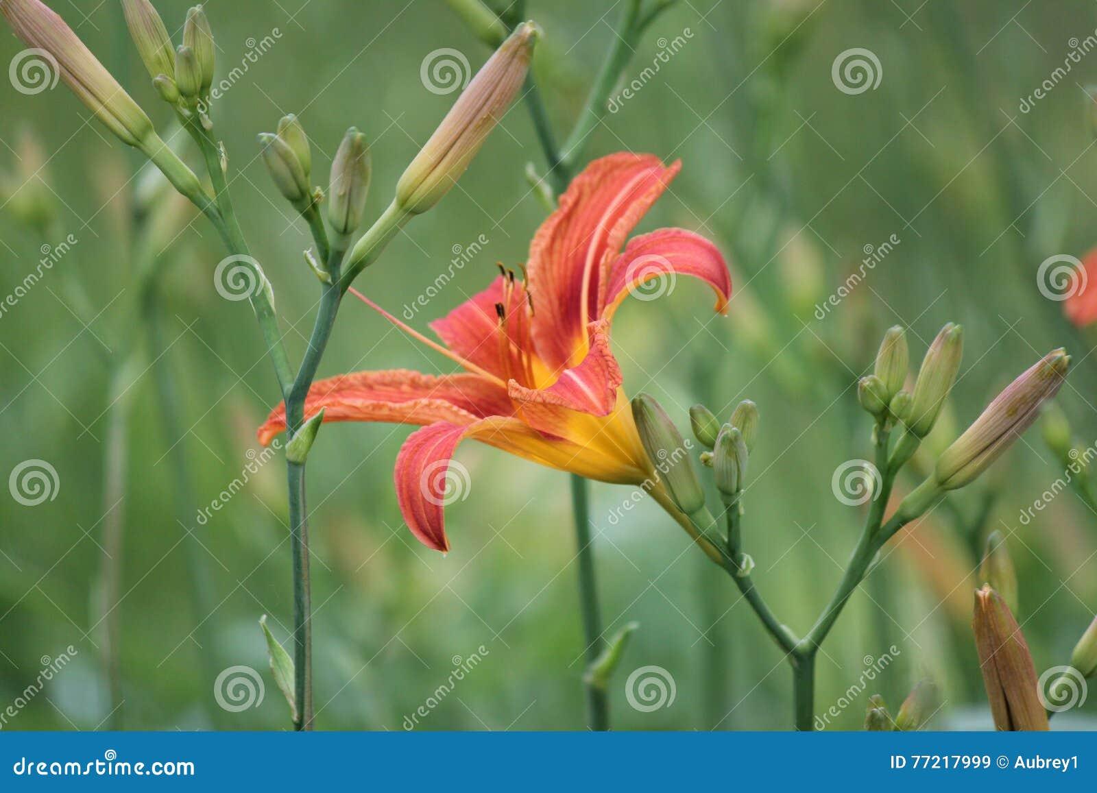 Hemerocallis, laranja & x28; Fulva& x29 do Hemerocallis;