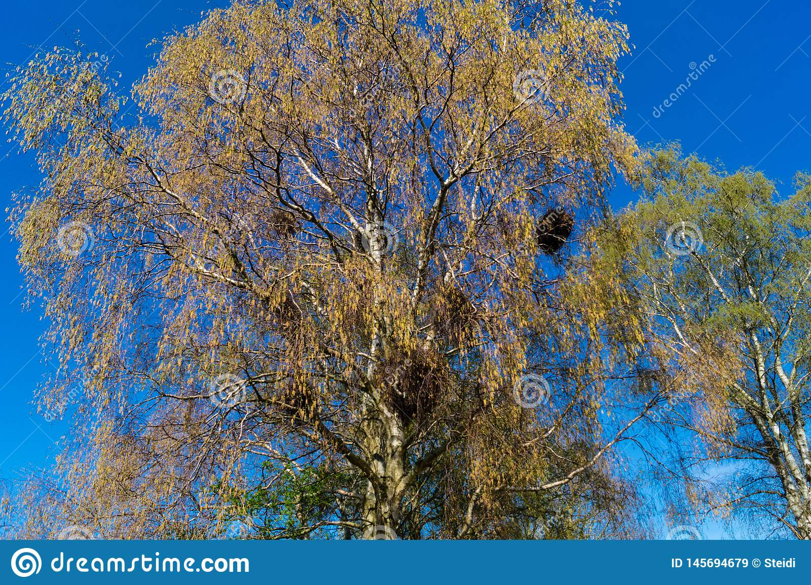 Mistletoes in a birch tree stock image. Image of berry ...