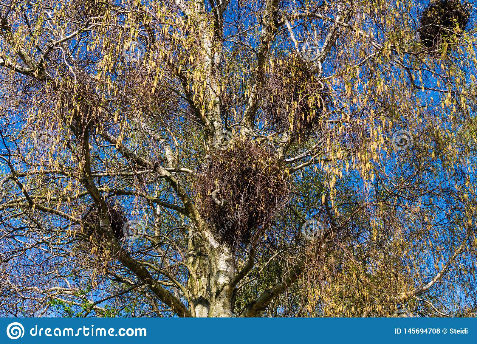 Mistletoes in a birch tree stock photo. Image of berry ...