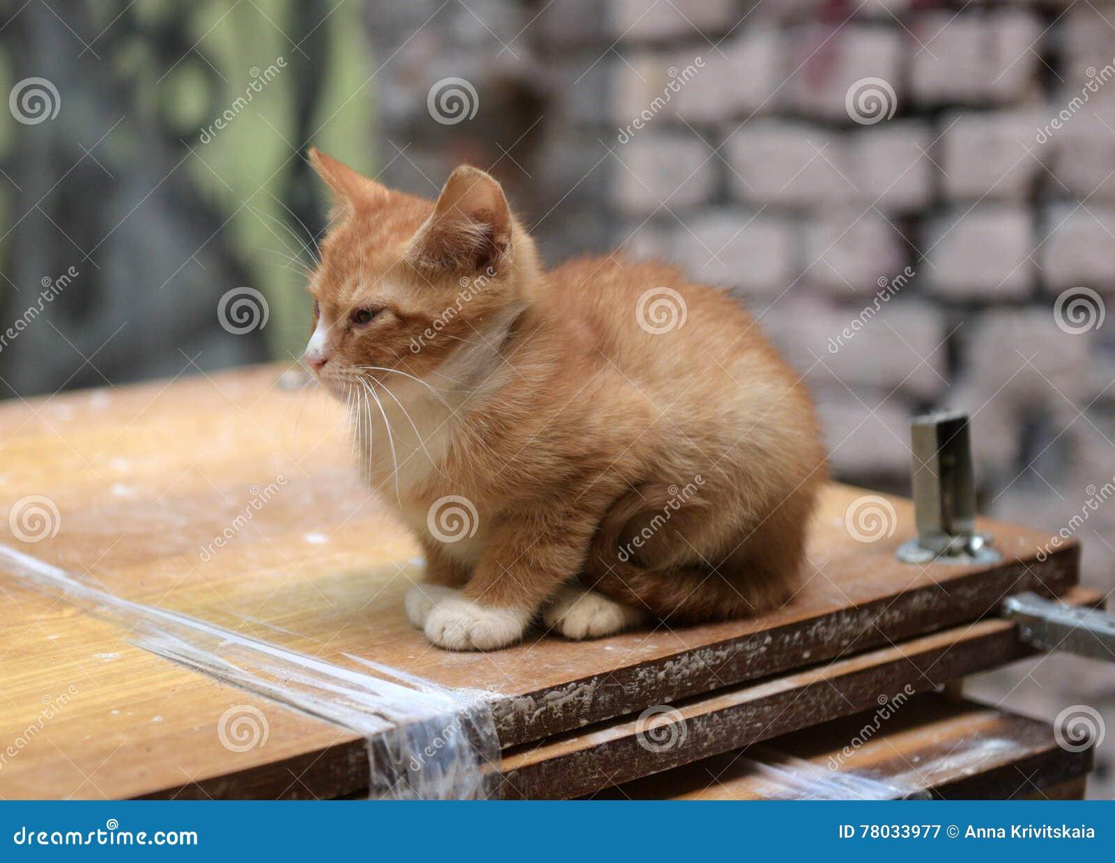 Hemlös ljust rödbrun kattunge