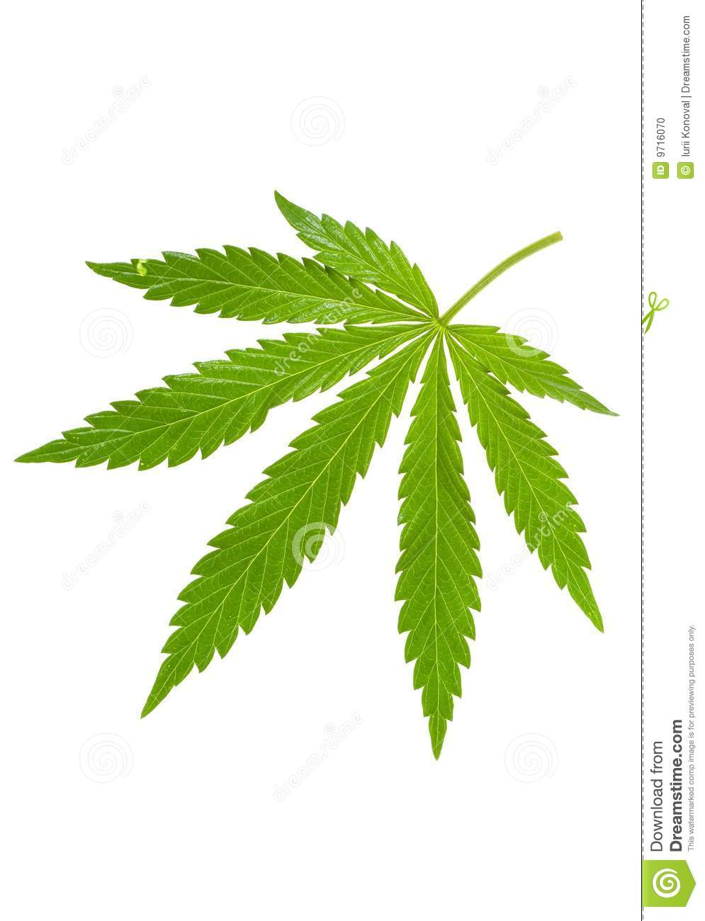 Hemp Leaf Stock Photo Image 9716070